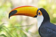 Verticale de toco toucan Images libres de droits