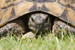 Verticale de tortue Image stock