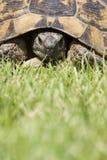 Verticale de tortue Images libres de droits