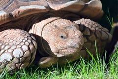 Verticale de tortue photographie stock libre de droits