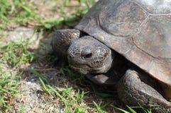 Verticale de tortue de Gopher Image stock