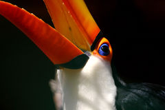 Verticale de Toucan Photos stock