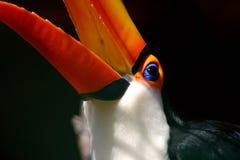 Verticale de Toucan photos stock