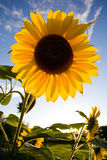Verticale de tournesol photos libres de droits