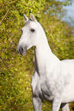 Verticale de trotteur d'Orlov de cheval blanc Images stock