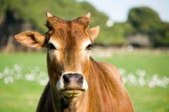 Verticale de vache à zébu Images stock