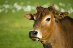 Verticale de vache à zébu Photo libre de droits