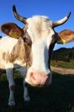 Verticale de vache image stock