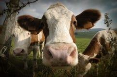Verticale de vache Photographie stock libre de droits