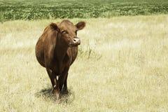 Verticale de vache Photos stock