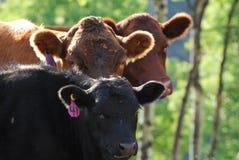 Verticale de vache Images libres de droits