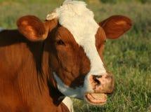Verticale de vache Photo libre de droits