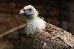 Verticale de vautour Photographie stock