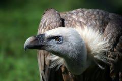 Verticale de vautour Images stock