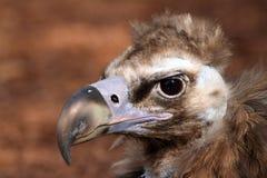 Verticale de vautour Cinereous Images stock