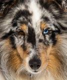 Verticale de visage de merle de Sheltie Photographie stock libre de droits