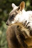 Verticale de Wallaby Photos libres de droits