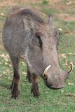 Verticale de Warthog Photos stock