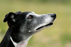 Verticale de Whippet Photo stock