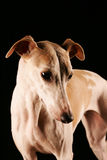 Verticale de Whippet Photographie stock