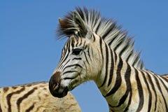 Verticale de zèbre de plaines Photos libres de droits