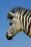 Verticale de zèbre de plaines photo libre de droits