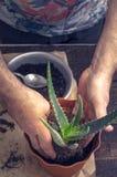 Verticale del fiore dell'aloe del trapianto dell'uomo Immagine Stock Libera da Diritti