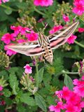 Verticale del lepidottero di colibrì Fotografia Stock Libera da Diritti