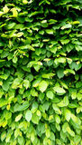 Verticale del recinto della parete della pianta verde immagini stock