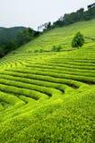 Verticale della Corea del Sud della piantagione di tè verde Fotografia Stock Libera da Diritti