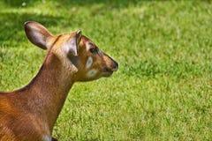 Verticale des cerfs communs Photographie stock libre de droits