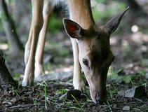 Verticale des cerfs communs dans la forêt Photographie stock libre de droits
