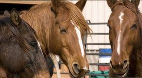 Verticale des chevaux bruns photo libre de droits
