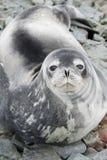 Verticale des sceaux de Weddell sur les roches de la marée au printemps Photos libres de droits