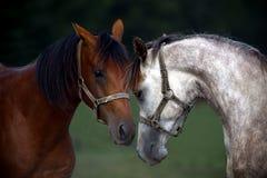 verticale deux de chevaux Image stock