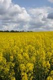 Verticale di fioritura del campo giallo della senape, Danimarca Immagini Stock Libere da Diritti