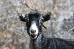 Verticale drôle d'une chèvre Images stock