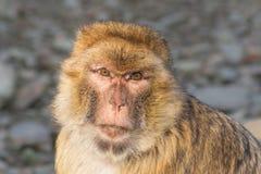 Verticale drôle de singe Photo libre de droits