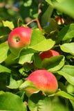 Verticale drie rode appelen Stock Foto's