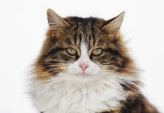 Verticale du chat Photo stock
