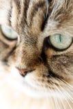 Verticale du chat sibérien Photographie stock libre de droits