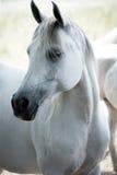 Verticale du cheval blanc Photographie stock