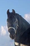 Verticale du cheval noir Photo stock
