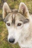 Verticale du chien de traîneau sibérien Photo libre de droits
