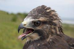Verticale du faucon de Swainson Image libre de droits
