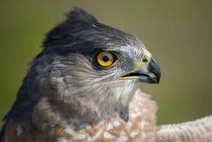 Verticale du faucon du tonnelier Photo libre de droits