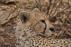 Verticale du guépard (geppard) Photographie stock