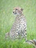 Verticale du guépard (geppard) Photographie stock libre de droits