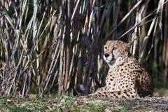 Verticale du guépard (geppard) Photo stock