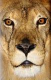 Verticale du lion images stock